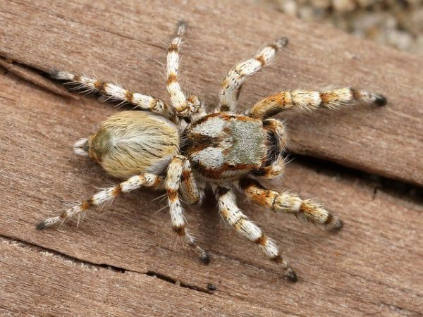 Picaduras de arañas – Remedios caseros