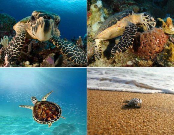 ¿Por qué las Tortugas Carey están en peligro de extinción?